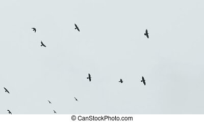 birds circling in the sky, a flock of crows