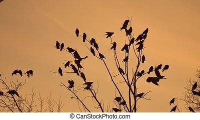 birds circling in the sky, a flock of crows sunset orange silhouette . autumn raven birds
