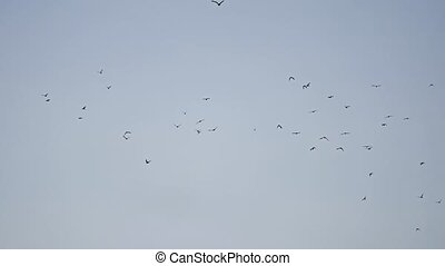 birds circling in the sky, a flock of dows pigeons. flock of...