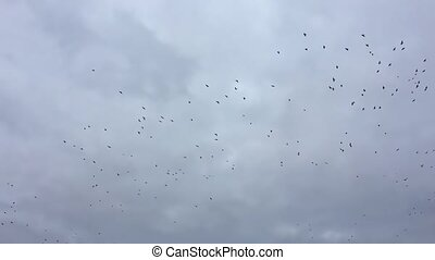 birds circling in the sky, a flock of slow motion video bird crows