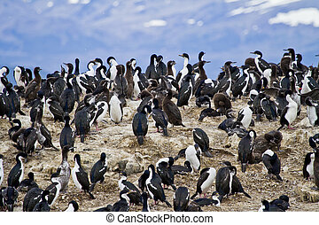 Birds - Cormorant Colony - Cormorant Colony On An Island In...