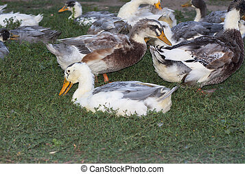 Birds ducks are resting on a grass photo