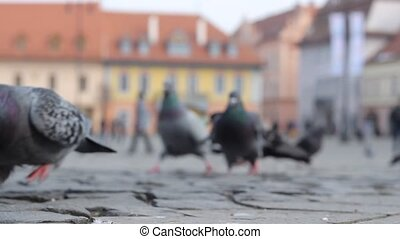 Birds Eating Bread Crumbs - Pigeons on cobblestone hurry to...