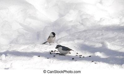 Birds eats sunflower seeds