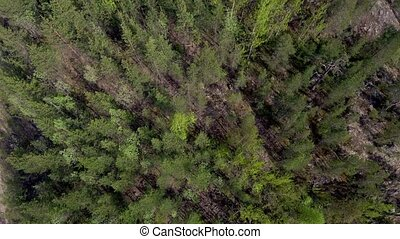 Bird's-eye view of the fir forest. Northern taiga in the...