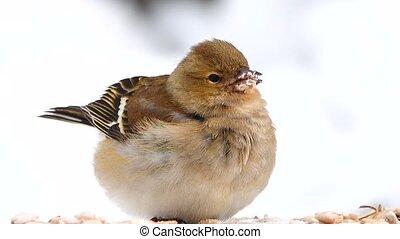 birds finch (Common Chaffinch) eats sunflower seeds
