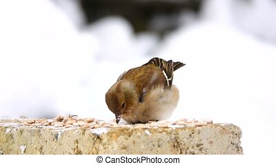 birds finch (Common Chaffinch) eats sunflower seeds