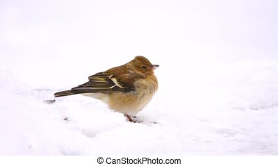 birds finch (Common Chaffinch) in the snow