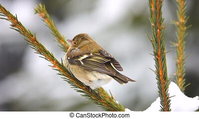 birds finch (Common Chaffinch) on a tree branch