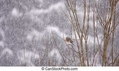 birds finch (Common Chaffinch). winter. snowing
