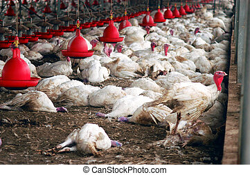 Birds Flu Outbreak - WESTERN NEGEV - MARCH 19: Dead turkey...