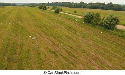 Birds fly over the field. Drone footage