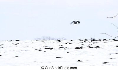 Birds - flying Black Common raven
