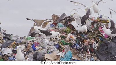 Flock of birds flying over rubbish piled on a landfill full of trash, with vehicles working and clearing rubbish and stormy overcast sky in the background in slow motion