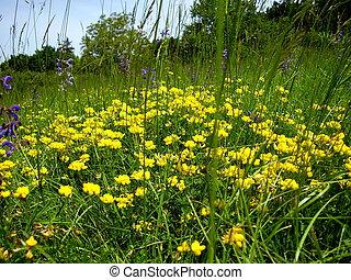 Birds-foot Trefoil (Lotus corniculatus) growing in a meadow