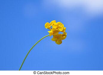Bird's-foot trefoil (Lotus corniculatus)