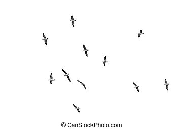 Birds gliding on clear sky, (B&W)