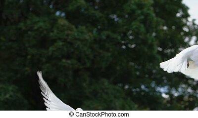 birds., gołębica, przelotny, newlyweds, sky., gołąb, laszując, -, dwa, biały, ludzie