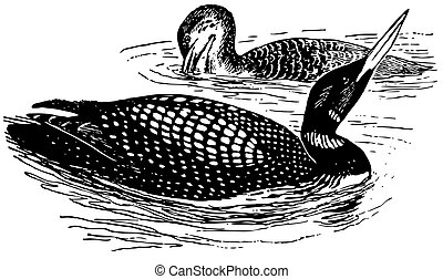 Birds Great Northern Loon