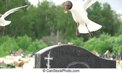 Birds, gulls in the cemetery.