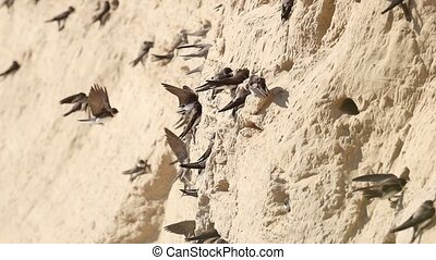birds in a cave slope looking for nesting places, animals