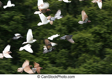 Birds in flight - Large group of birds in flight, some...