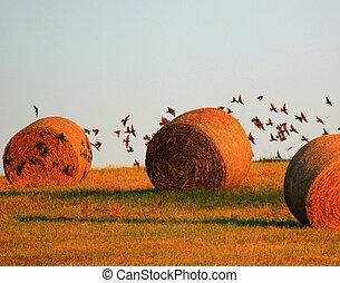 Birds in Flight over hay bales