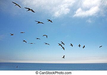 Birds in Formation Across the Sky Over the Ocean - Pelicans...