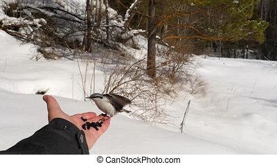 Birds in hand eat seeds - Titmouse birds in man's hand eats...