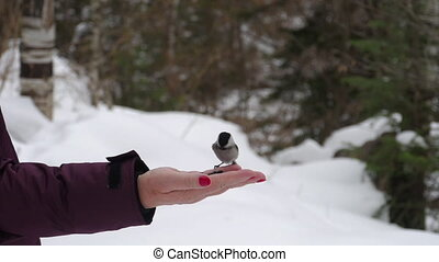 Birds in hand eat seeds - Titmouse birds in woman's hand...