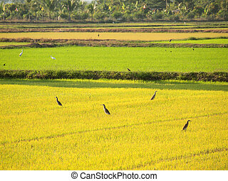 Birds looking for food in the fields of Thailand