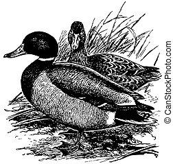 Birds Mallard