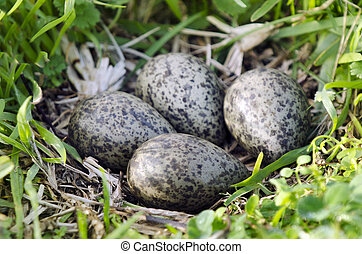 Birds - Masked Lapwing - Four Eggs in a nest of the Masked...
