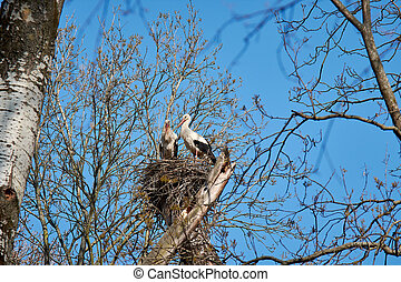 Bird's nest on a tree among branches. Two storks with blue sky.