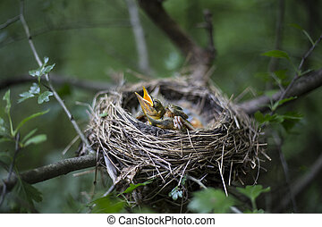 Bird's nest with chicks in a tree. - Song thrush chicks ...