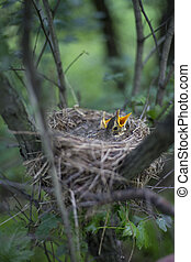 Bird's nest with chicks in a tree. - Song thrush chicks...