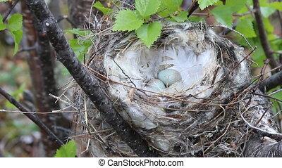 Arctic redpoll (Acanthis hornemanni) white nest in birch -...