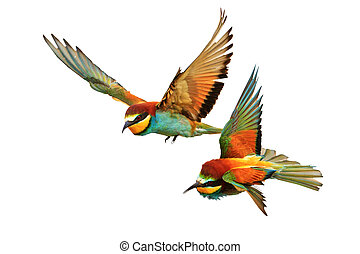 Birds of Paradise fighting in flight isolated on a white background