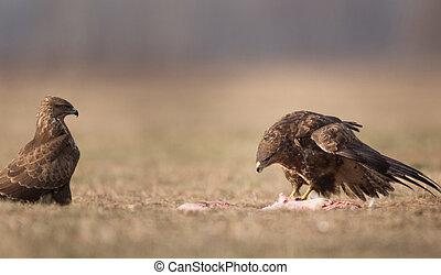 Birds of prey buzzards - Two buzzards eagles standing and ...