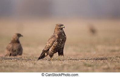 Birds of prey buzzards - Two buzzards eagles standing on ...