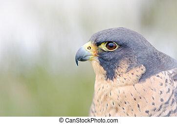 Birds of prey. Close-up of an Peregrine Falcon