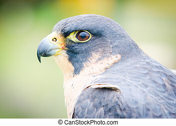 Peregrine Falcon - Birds of prey. Close-up of an Peregrine ...
