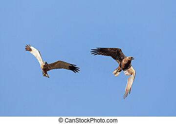 Birds of prey - Marsh Harrier, Europe Wildlife - Birds of ...