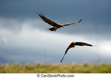 Birds of prey - Ngora-Ngora, Tanzania, Africa