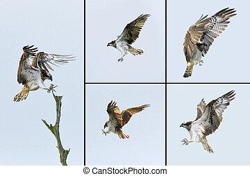 Birds of Prey - Osprey - The Osprey (Pandion haliactus) is ...