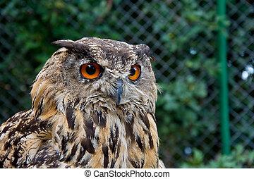 Birds of prey. - Portrait of eurasian eagle owl. Birds of ...