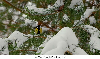 Birds on a fir branch in snowy winter forest