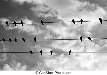 birds on a wire - Birds resting on a wire. Black and white.