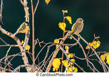 Birds on the autumn birch tree branches.