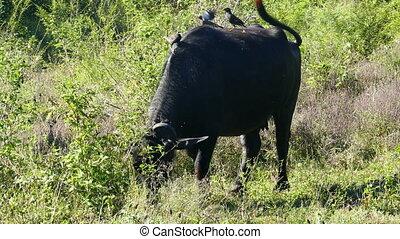 birds on wild buffalo in Sri Lanka